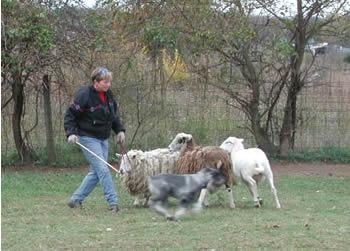 """""""Quincy"""" at herding 2003"""
