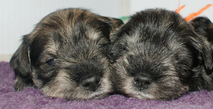 two-pups-3w