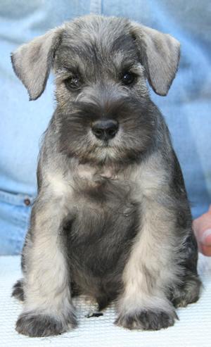 antonov_sitt_puppy