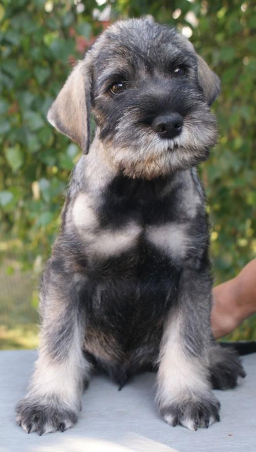 just jaeger puppy